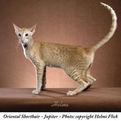The Hidden Wildcat in the Oriental Breed