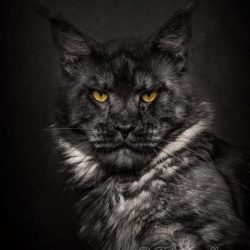 The Maine Coon with a Lion's Face