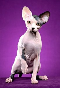 Sphynx cats-10 things to know about living with hairless cats