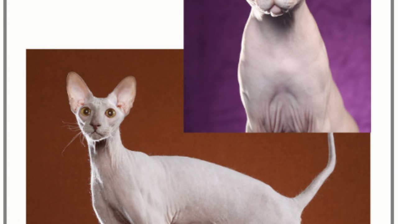 Sphynx cat health concerns | PoC