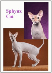 Sphynx cat health concerns