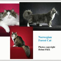 What is the temperament of a Norwegian Forest Cat?