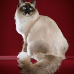 Where does the Ragdoll come from? America is the answer.