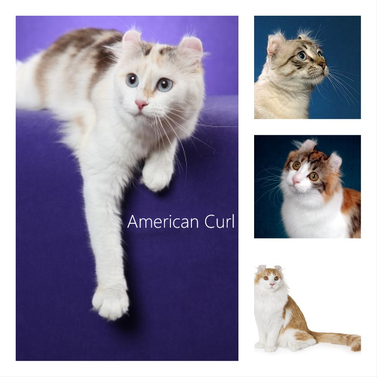 American Curl Cat: 12 facts
