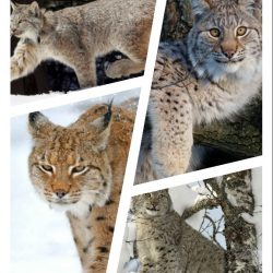 How big is the Canadian lynx?
