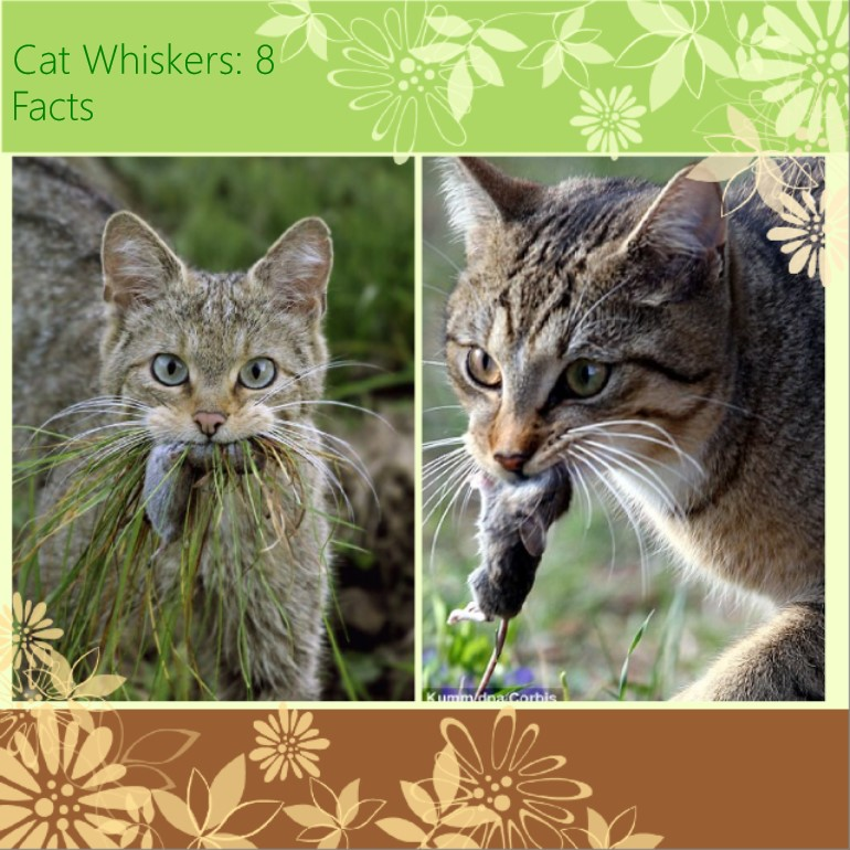 Cat whiskers: 8 interesting facts
