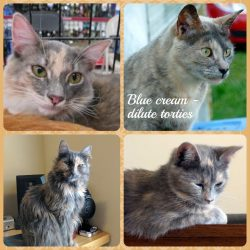 What is a blue-cream colored cat?