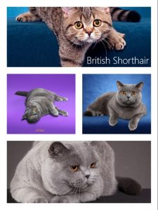 Do British Shorthair cats have eye problems?