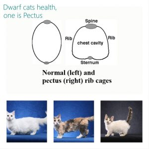 Dwarf cats: 2 health problems