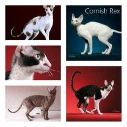 Do Cornish Rex cats need baths?