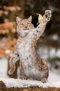 How do bobcat hunt?