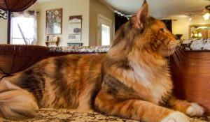 Sexist Cat Fanciers' Association bars boy calico cat from winning at cat show