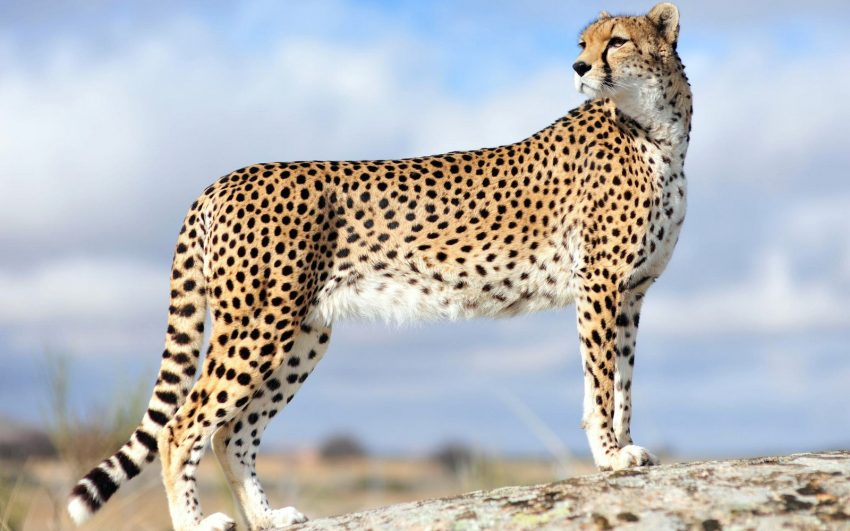 Can the cheetah be domesticated?