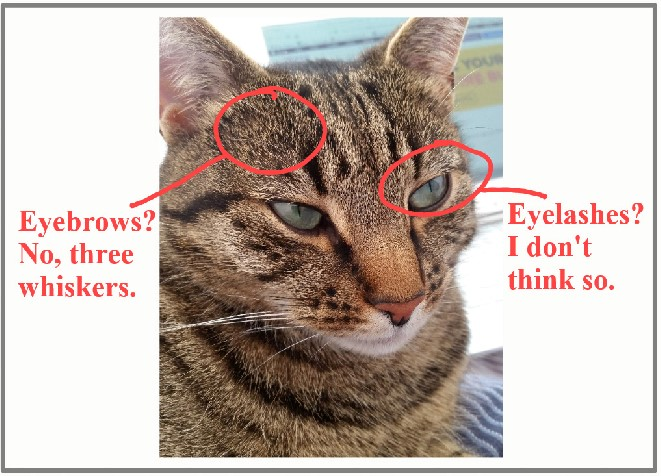 Do cats have eyebrows?