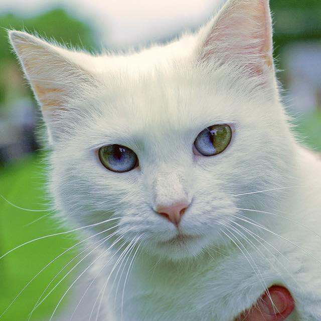 Sectoral heterochromia in domestic cats