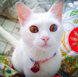 Sectoral heterochromia in domestic cats