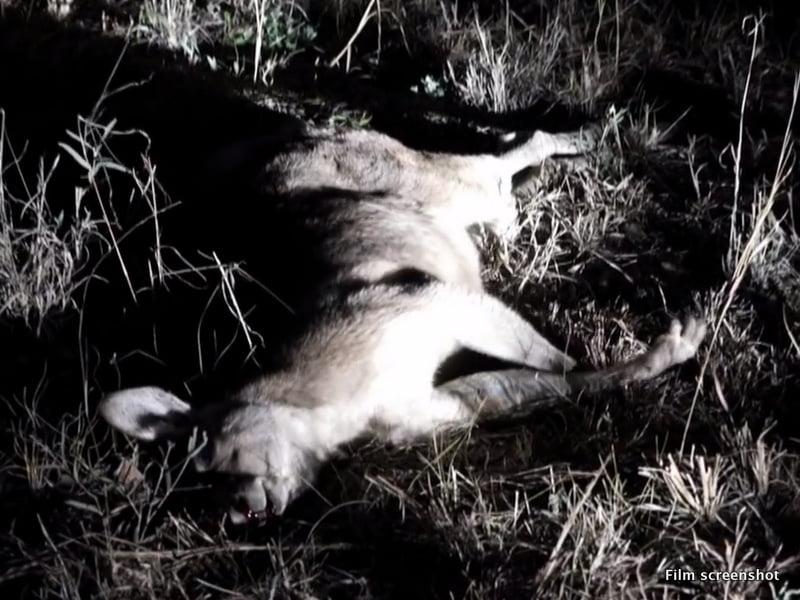 Australia's dirty secret: Their attitude towards the kangaroo and the cat. A shot kangaroo