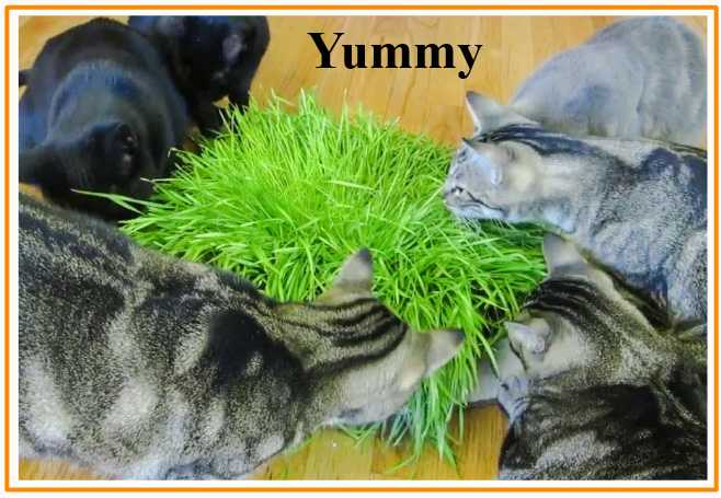 Why do cats eat grass? Seven reasons, one of which is correct.