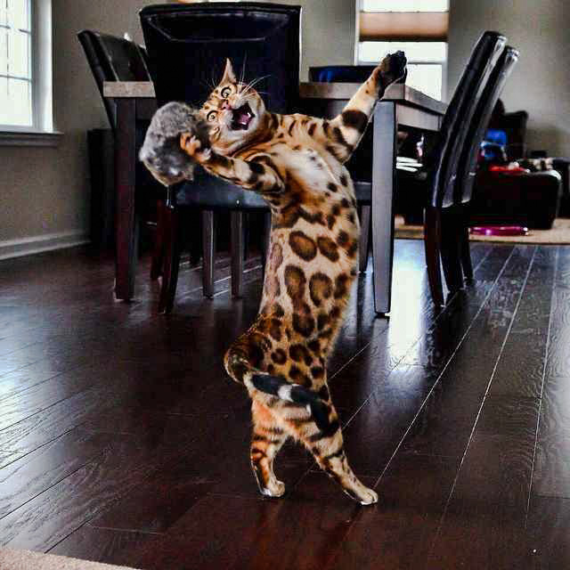 Bengal Cat the greatest showman