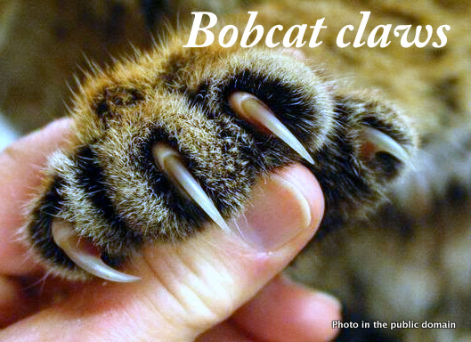 Can bobcats be domesticated?