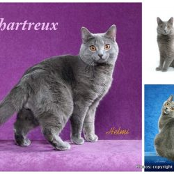 History of the Chartreux cat: 5 theories!