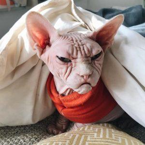 Grumpy Sphynx Cat