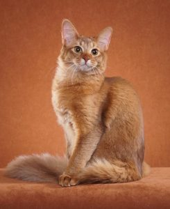 The long-haired Abyssinian cat