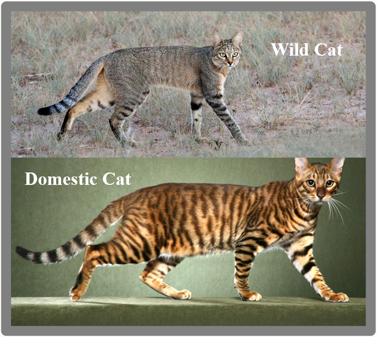 The domestic cat is a contradiction