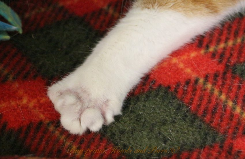 Veterinarian Butchered the Toes of a Polydactyl Cat