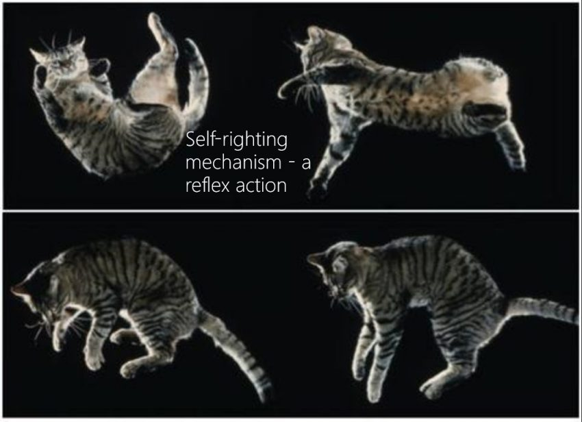 Cat Reflexes