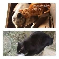 What are barn cats good for?