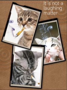 Is it safe for cats to smoke marijuana?