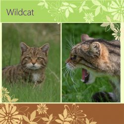 Wildcats to be reintroduced into England to cull grey squirrels!