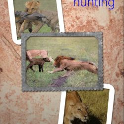 Hunting success rate of lions