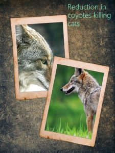 Huge decline in coyote predation of cats in Southern California