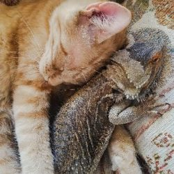 Bearded dragon and cat friendship