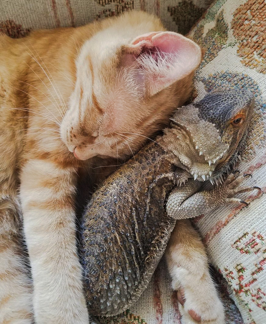 Cat's close friendship with a bearded dragon lizard