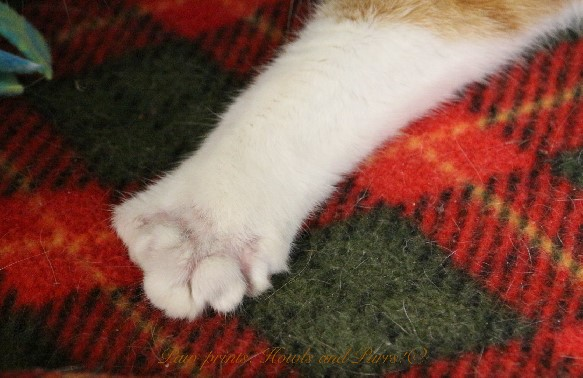 Veterinarian butchered the toes of polydactyl cat