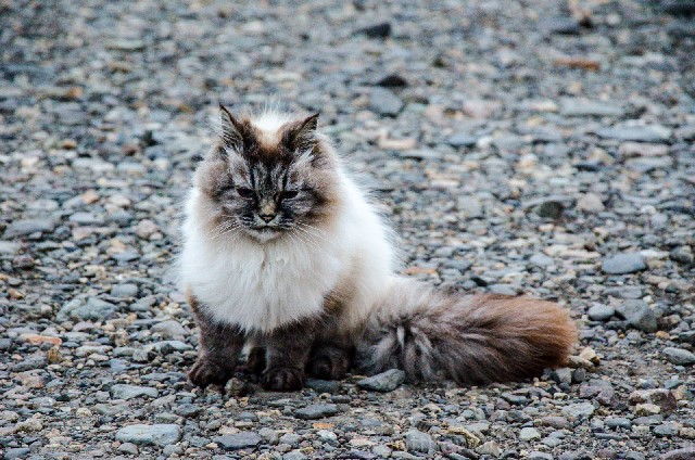 Are there cats in Iceland?