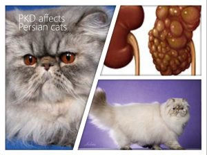 Polycystic kidney disease; cat's life expectancy