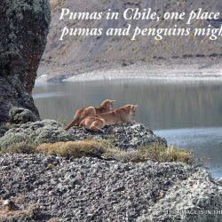 Do pumas eat penguins?