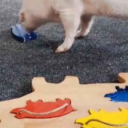 Smart pig doing a puzzle