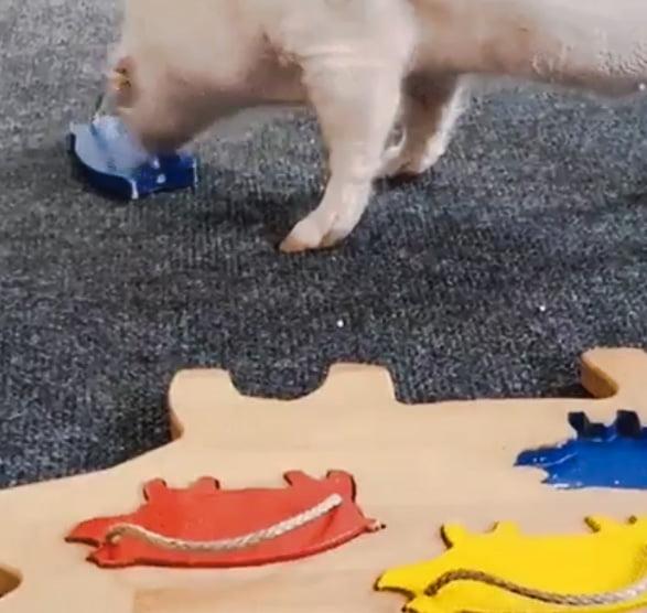 Smart pig doing a puzzle