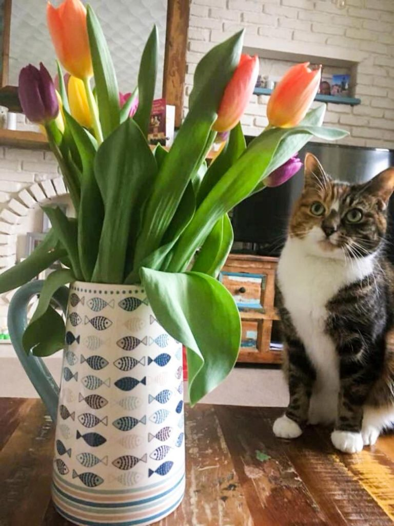 Tulips are toxic to cats