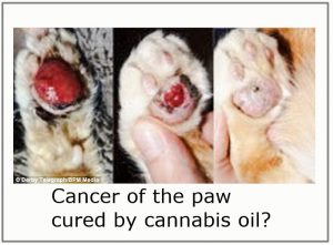 Cannabis Oil Cured This Cat's Cancer