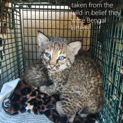 Brother and Sister Take Two Bobcat Kittens from Their Mother