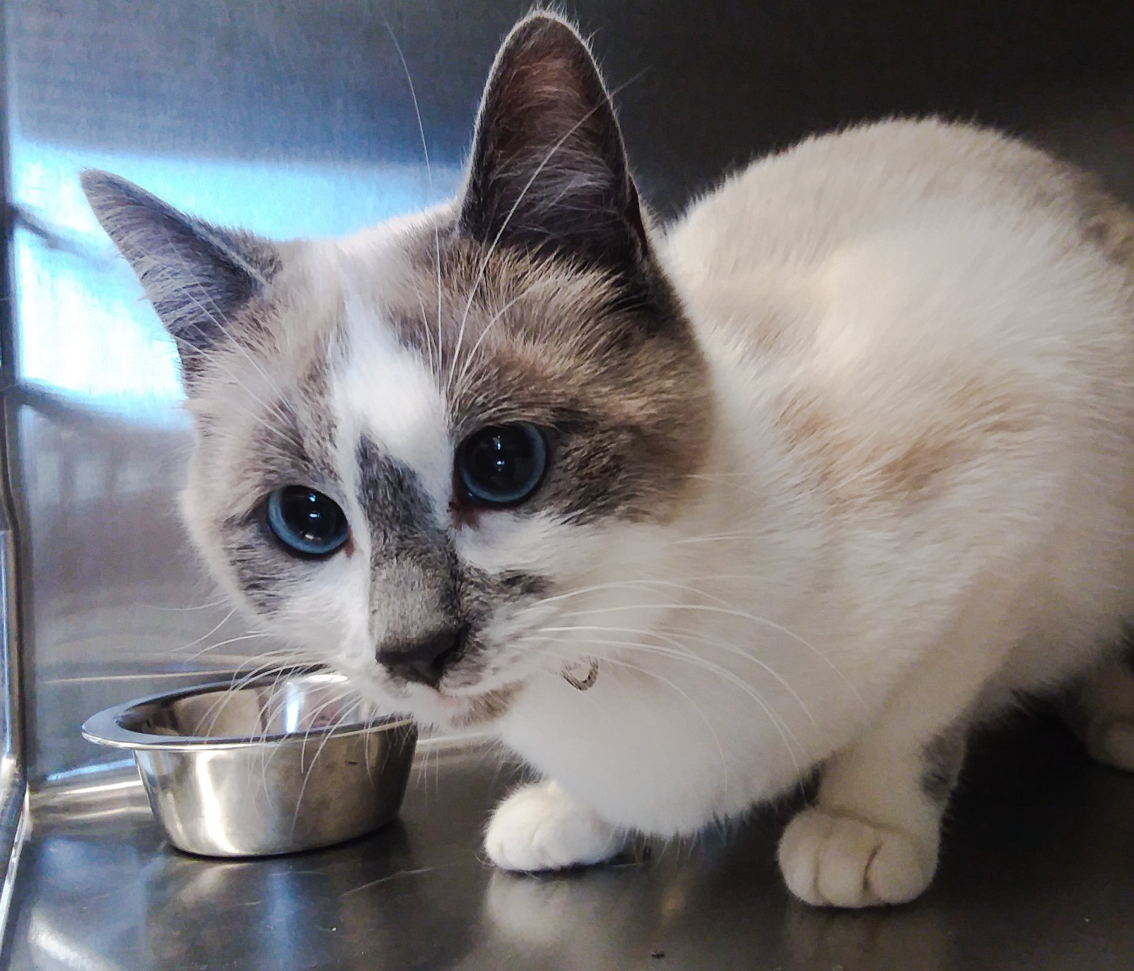 Beautiful rescue cat needs a new home quickly