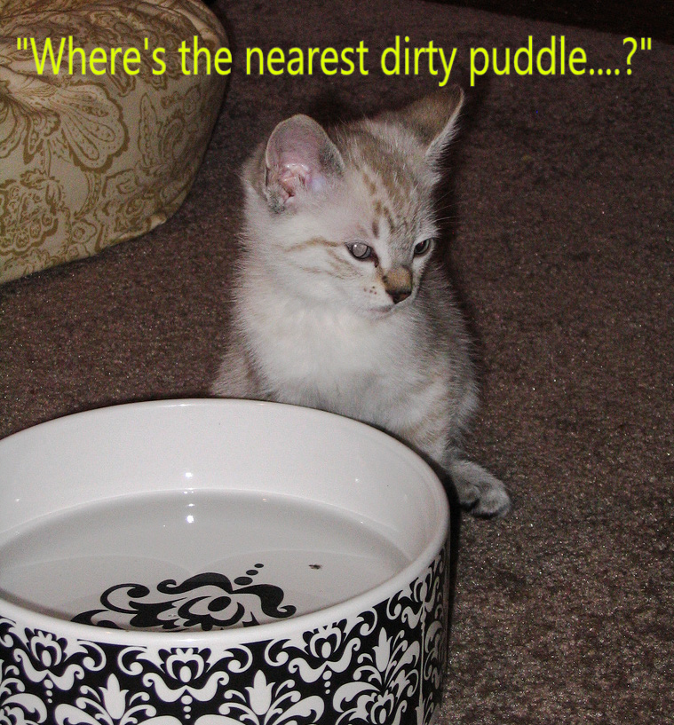 Why do cats prefer dirty water