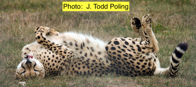 Are Cheetahs Big Cats?