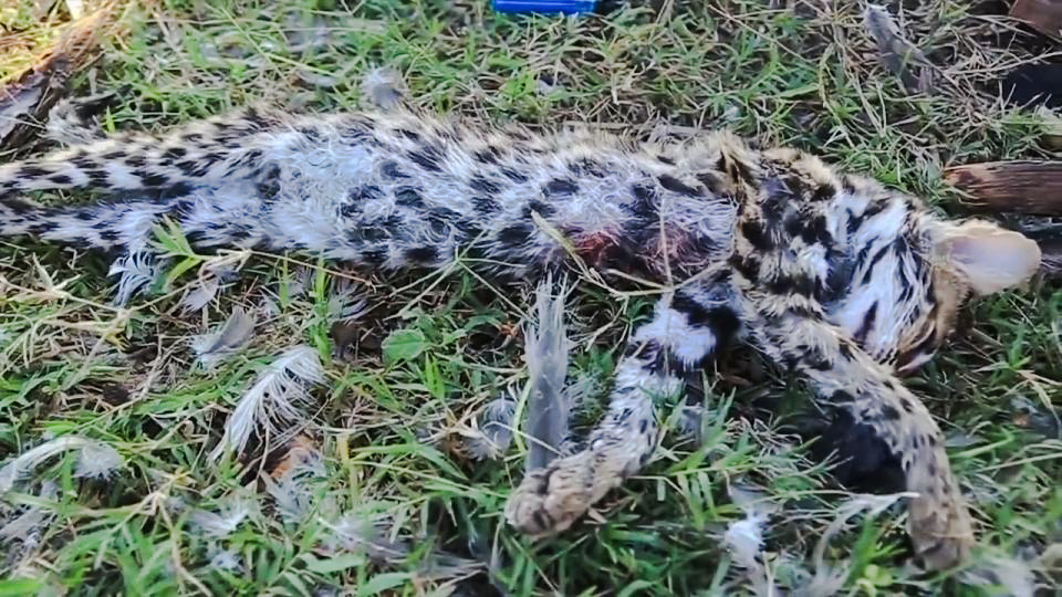 Cambodian filmed herself skinning, cooking and eating a young Fishing Cat